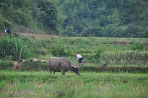 Rural rice farmer