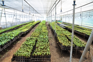 Seedlings being grown for restoration