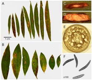 new Bipolaris pathogen found on Microstegium