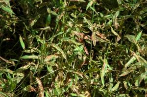 Leaf blight disease on Microstegium