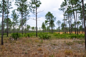 Native longleaf ecosystem